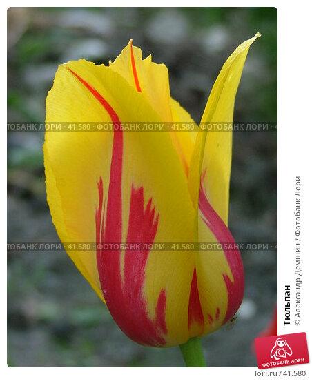 Тюльпан, фото № 41580, снято 26 июня 2004 г. (c) Александр Демшин / Фотобанк Лори