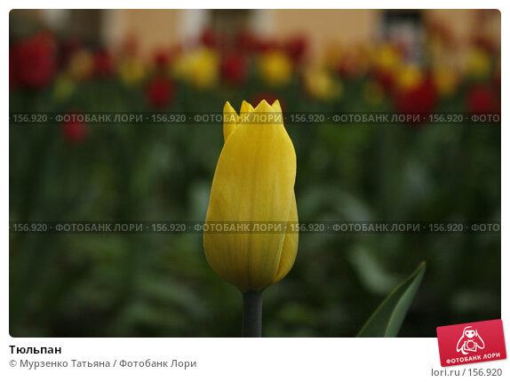 Тюльпан, фото № 156920, снято 15 мая 2007 г. (c) Мурзенко Татьяна / Фотобанк Лори