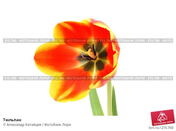 Купить «Тюльпан», фото № 215760, снято 1 марта 2008 г. (c) Александр Катайцев / Фотобанк Лори