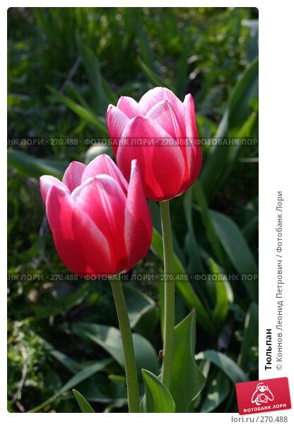 Купить «Тюльпан», фото № 270488, снято 3 мая 2008 г. (c) Коннов Леонид Петрович / Фотобанк Лори