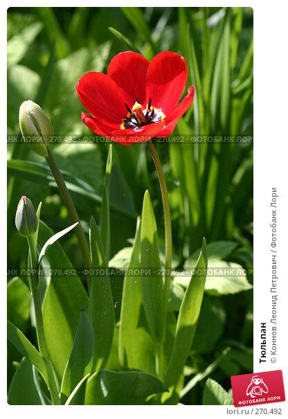 Тюльпан, фото № 270492, снято 3 мая 2008 г. (c) Коннов Леонид Петрович / Фотобанк Лори