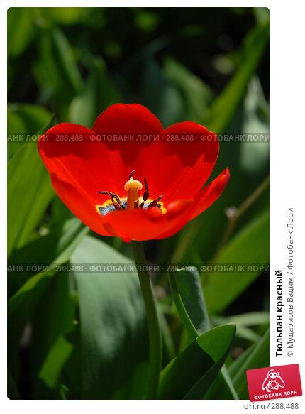 Тюльпан красный, фото № 288488, снято 17 мая 2008 г. (c) Мударисов Вадим / Фотобанк Лори
