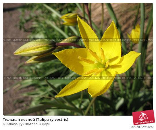 Тюльпан лесной (Tulipa sylvestris), фото № 293692, снято 17 мая 2008 г. (c) Заноза-Ру / Фотобанк Лори