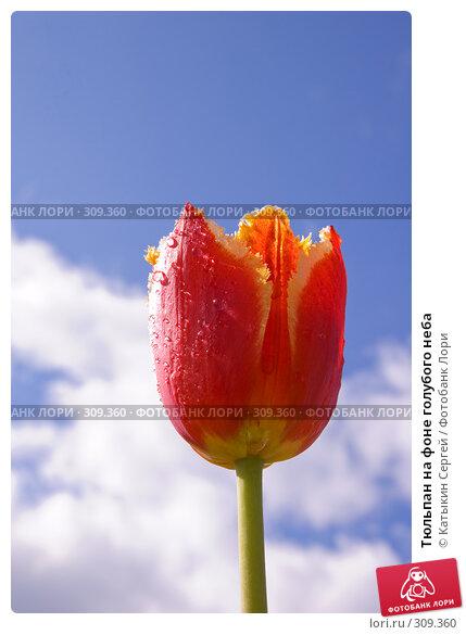 Тюльпан на фоне голубого неба, фото № 309360, снято 31 мая 2008 г. (c) Катыкин Сергей / Фотобанк Лори