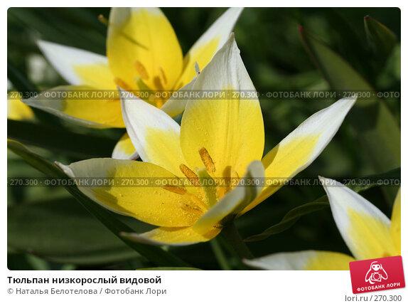 Тюльпан низкорослый видовой, фото № 270300, снято 2 мая 2008 г. (c) Наталья Белотелова / Фотобанк Лори