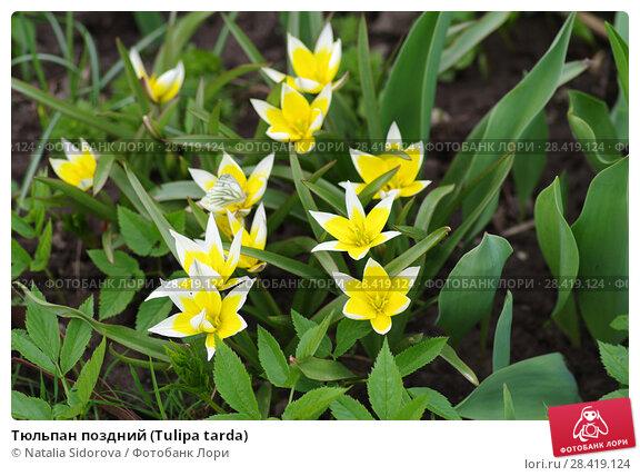 Купить «Тюльпан поздний (Tulipa tarda)», фото № 28419124, снято 30 апреля 2018 г. (c) Natalya Sidorova / Фотобанк Лори