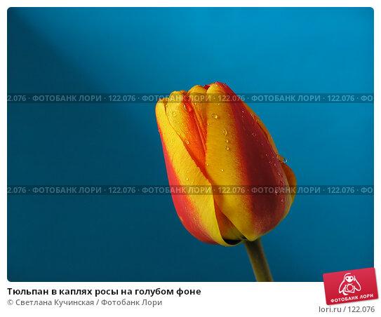 Купить «Тюльпан в каплях росы на голубом фоне», фото № 122076, снято 22 марта 2018 г. (c) Светлана Кучинская / Фотобанк Лори