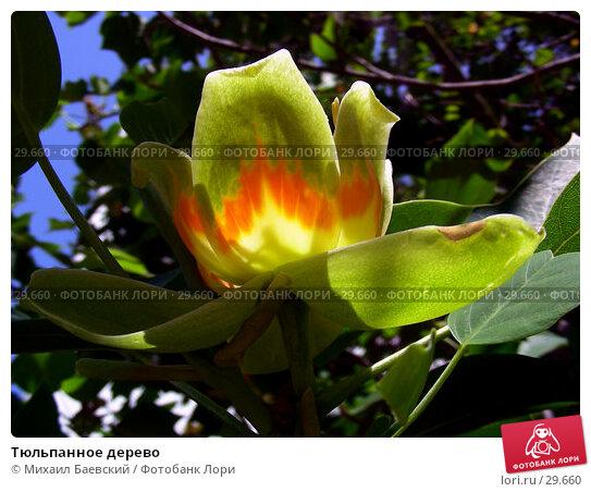 Тюльпанное дерево, фото № 29660, снято 3 июня 2006 г. (c) Михаил Баевский / Фотобанк Лори
