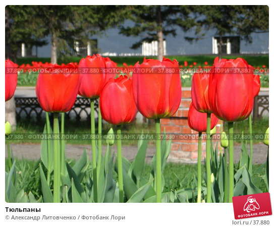 Купить «Тюльпаны», фото № 37880, снято 15 декабря 2017 г. (c) Александр Литовченко / Фотобанк Лори