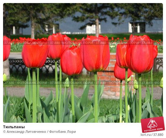 Тюльпаны, фото № 37880, снято 23 февраля 2017 г. (c) Александр Литовченко / Фотобанк Лори