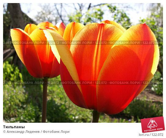 Тюльпаны, фото № 122072, снято 12 мая 2006 г. (c) Александр Леденев / Фотобанк Лори