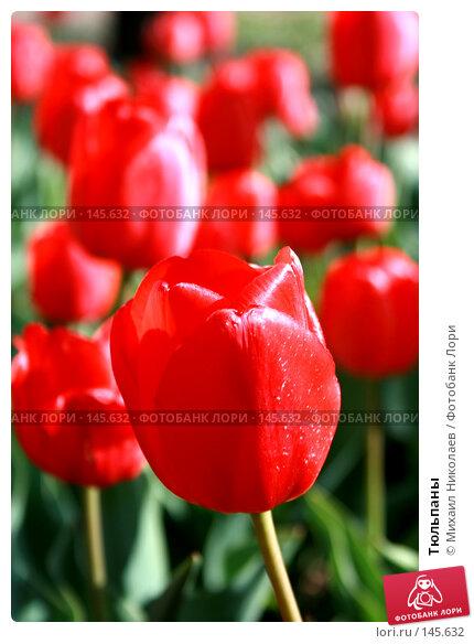 Купить «Тюльпаны», фото № 145632, снято 10 мая 2007 г. (c) Михаил Николаев / Фотобанк Лори