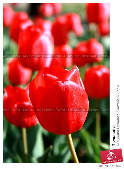 Тюльпаны, фото № 145632, снято 10 мая 2007 г. (c) Михаил Николаев / Фотобанк Лори