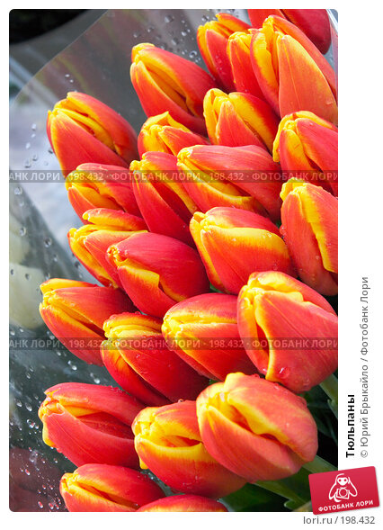 Тюльпаны, фото № 198432, снято 3 февраля 2008 г. (c) Юрий Брыкайло / Фотобанк Лори