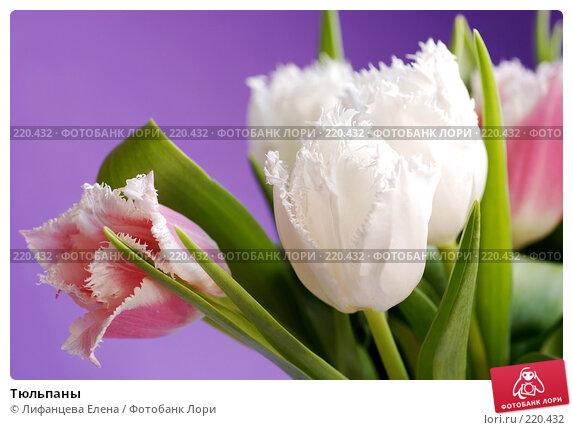 Тюльпаны, фото № 220432, снято 5 марта 2008 г. (c) Лифанцева Елена / Фотобанк Лори