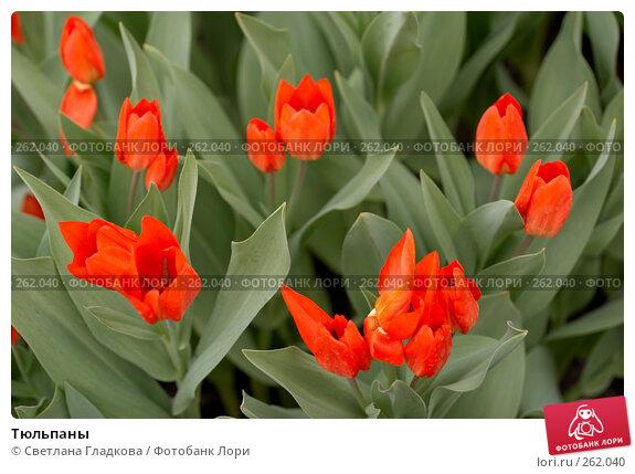 Тюльпаны, фото № 262040, снято 19 апреля 2008 г. (c) Cветлана Гладкова / Фотобанк Лори
