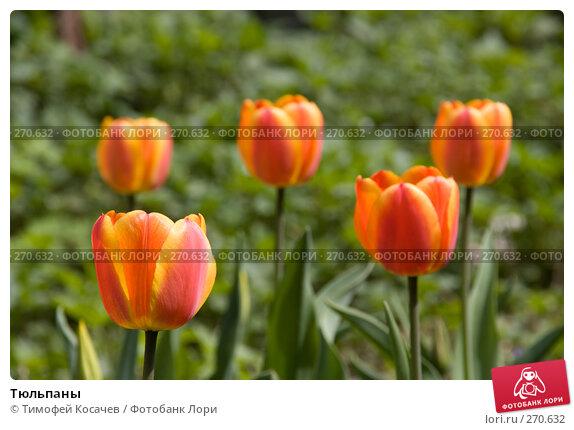 Тюльпаны, фото № 270632, снято 2 мая 2008 г. (c) Тимофей Косачев / Фотобанк Лори