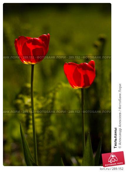 Купить «Тюльпаны», эксклюзивное фото № 289152, снято 17 мая 2008 г. (c) Александр Алексеев / Фотобанк Лори