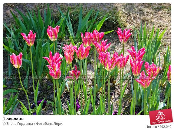 Тюльпаны, фото № 292040, снято 11 мая 2008 г. (c) Елена Гордеева / Фотобанк Лори