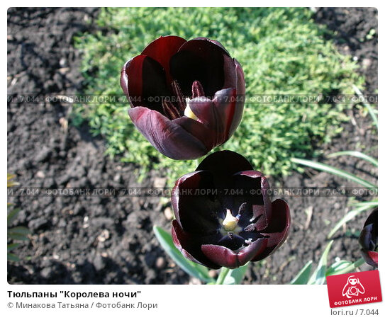 "Тюльпаны ""Королева ночи"", фото № 7044, снято 14 мая 2006 г. (c) Минакова Татьяна / Фотобанк Лори"