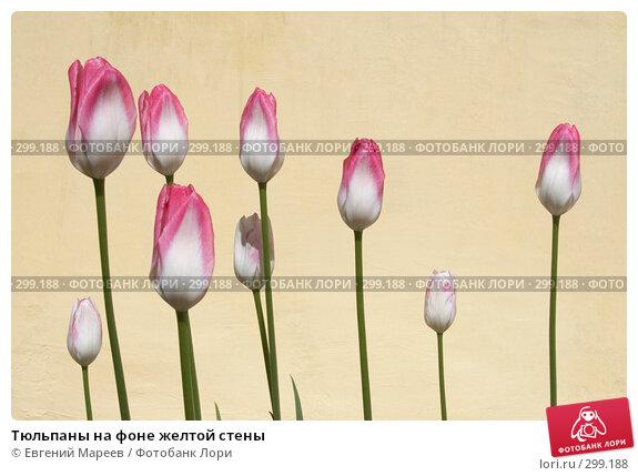 Купить «Тюльпаны на фоне желтой стены», фото № 299188, снято 16 мая 2008 г. (c) Евгений Мареев / Фотобанк Лори