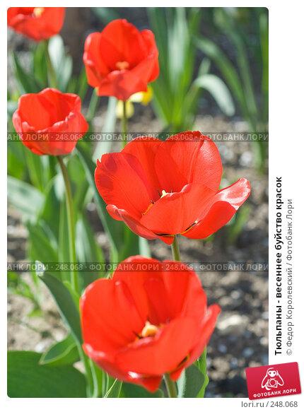 Тюльпаны - весеннее буйство красок, фото № 248068, снято 10 апреля 2008 г. (c) Федор Королевский / Фотобанк Лори