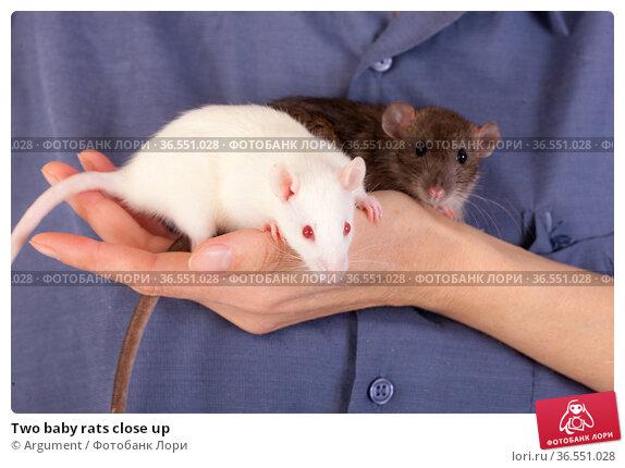 Two baby rats close up. Стоковое фото, фотограф Argument / Фотобанк Лори