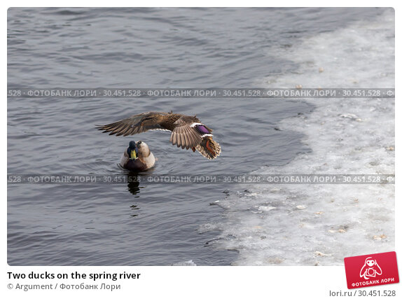 Two ducks on the spring river. Стоковое фото, фотограф Argument / Фотобанк Лори