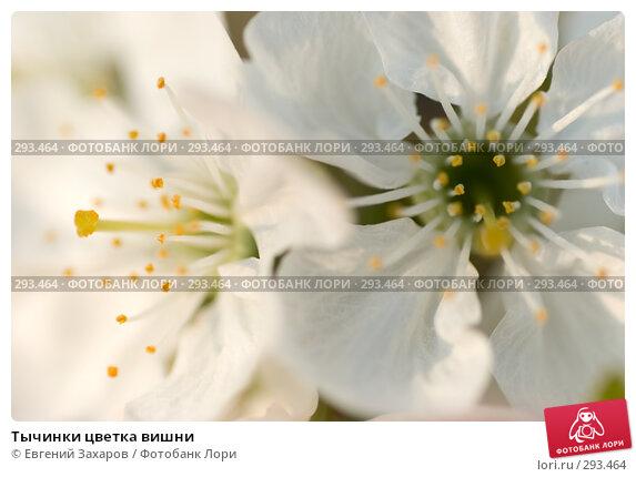 Тычинки цветка вишни, фото № 293464, снято 2 мая 2008 г. (c) Евгений Захаров / Фотобанк Лори