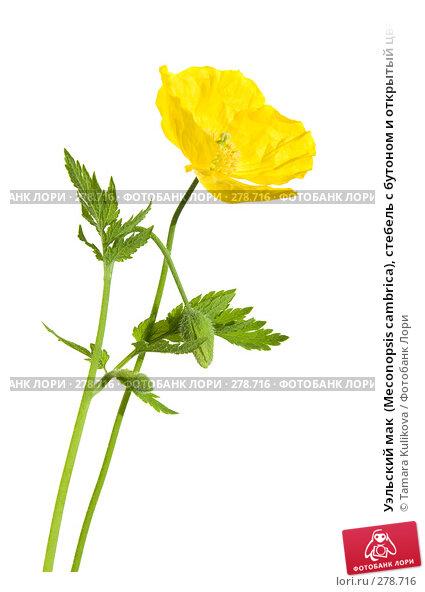 Уэльский мак  (Meconopsis cambrica), стебель с бутоном и открытый цветок, фото № 278716, снято 9 мая 2008 г. (c) Tamara Kulikova / Фотобанк Лори