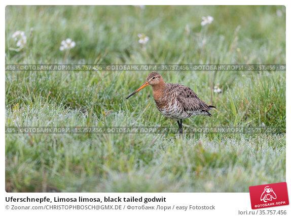Uferschnepfe, Limosa limosa, black tailed godwit. Стоковое фото, фотограф Zoonar.com/CHRISTOPHBOSCH@GMX.DE / easy Fotostock / Фотобанк Лори
