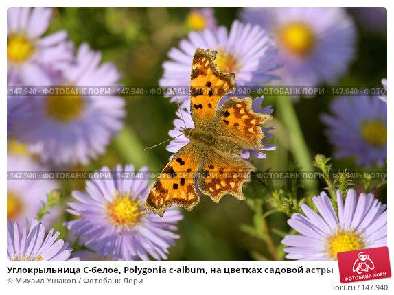 Углокрыльница С-белое, Polygonia c-album, на цветках садовой астры, фото № 147940, снято 26 октября 2007 г. (c) Михаил Ушаков / Фотобанк Лори
