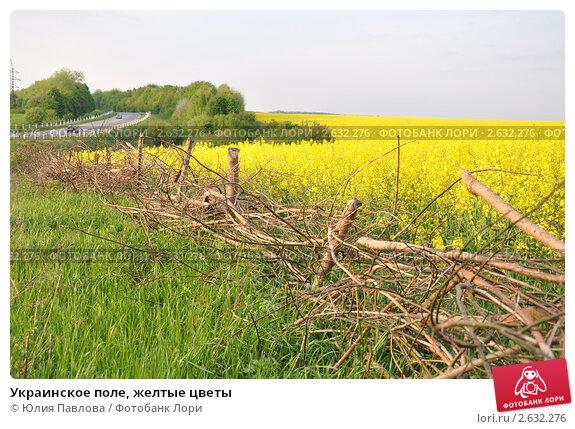 Украинское поле, желтые цветы (2011 год). Стоковое фото, фотограф Юлия Павлова / Фотобанк Лори