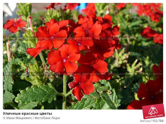Уличные красные цветы, фото № 153784, снято 26 сентября 2007 г. (c) Иван Мацкевич / Фотобанк Лори