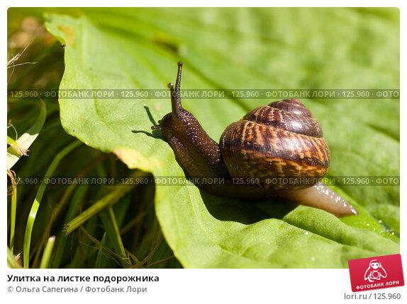 Купить «Улитка на листке подорожника», фото № 125960, снято 8 августа 2007 г. (c) Ольга Сапегина / Фотобанк Лори