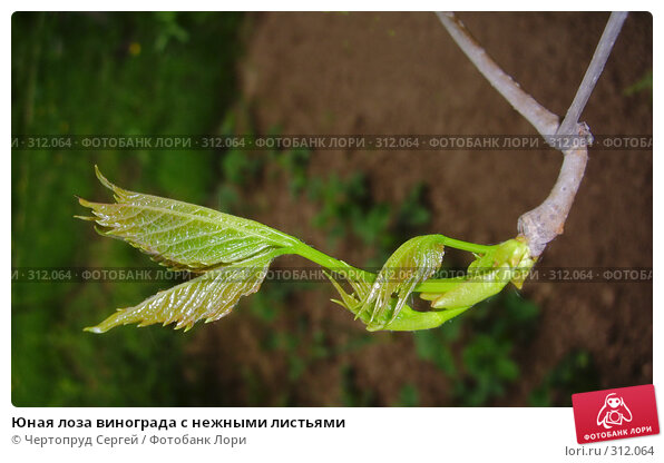 Юная лоза винограда с нежными листьями, фото № 312064, снято 18 мая 2008 г. (c) Чертопруд Сергей / Фотобанк Лори