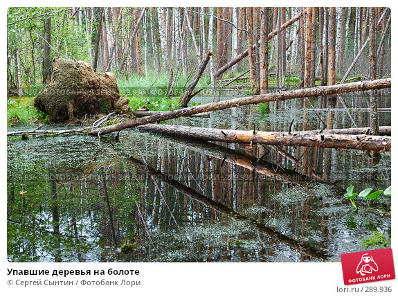 Упавшие деревья на болоте, фото № 289936, снято 30 июня 2007 г. (c) Сергей Сынтин / Фотобанк Лори