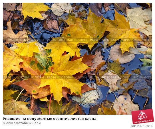 Купить «Упавшие на воду желтые осенние листья клена», фото № 19016, снято 10 ноября 2005 г. (c) only / Фотобанк Лори