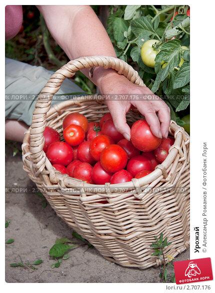 Купить «Урожай», фото № 2707176, снято 4 августа 2011 г. (c) Александр Романов / Фотобанк Лори