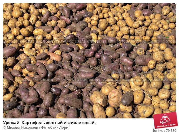 Урожай. Картофель желтый и фиолетовый., фото № 79580, снято 31 августа 2007 г. (c) Михаил Николаев / Фотобанк Лори