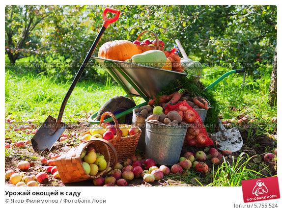 Купить «Урожай овощей в саду», фото № 5755524, снято 12 сентября 2012 г. (c) Яков Филимонов / Фотобанк Лори