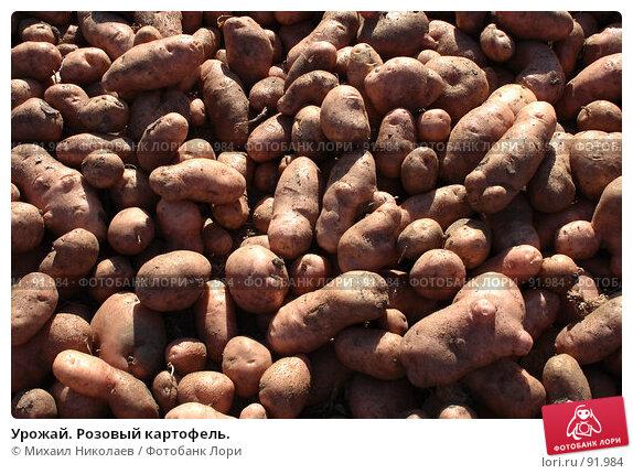 Урожай. Розовый картофель., фото № 91984, снято 9 сентября 2007 г. (c) Михаил Николаев / Фотобанк Лори