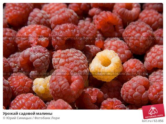 Урожай садовой малины, фото № 63856, снято 18 июля 2007 г. (c) Юрий Синицын / Фотобанк Лори