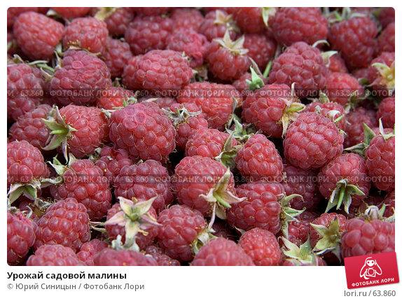 Урожай садовой малины, фото № 63860, снято 18 июля 2007 г. (c) Юрий Синицын / Фотобанк Лори