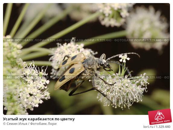 Усатый жук карабкается по цветку. Стоковое фото, фотограф Семин Илья / Фотобанк Лори