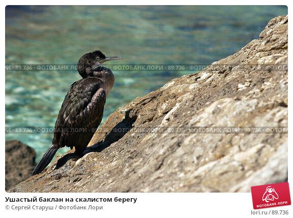 Купить «Ушастый баклан на скалистом берегу», фото № 89736, снято 4 августа 2007 г. (c) Сергей Старуш / Фотобанк Лори