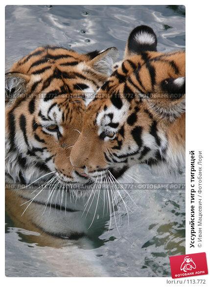 Купить «Уссурийские тигр с тигрицей», фото № 113772, снято 23 сентября 2007 г. (c) Иван Мацкевич / Фотобанк Лори