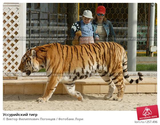 Уссурийский тигр, фото № 257496, снято 13 апреля 2008 г. (c) Виктор Филиппович Погонцев / Фотобанк Лори