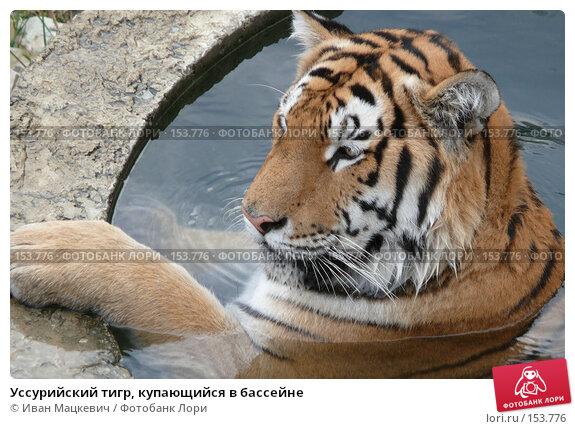 Уссурийский тигр, купающийся в бассейне, фото № 153776, снято 23 сентября 2007 г. (c) Иван Мацкевич / Фотобанк Лори