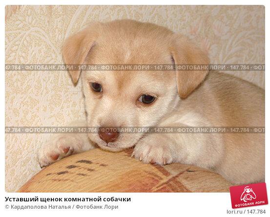 Уставший щенок комнатной собачки, фото № 147784, снято 12 декабря 2007 г. (c) Кардаполова Наталья / Фотобанк Лори